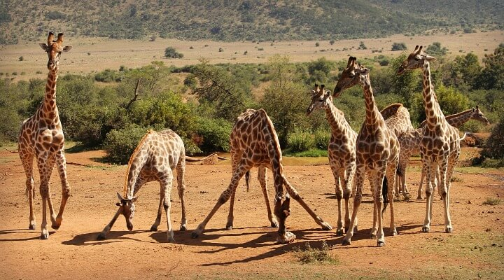South Africa Safari Giraffes   Why we didn't do a South Africa Safari   Cape Town with Kids