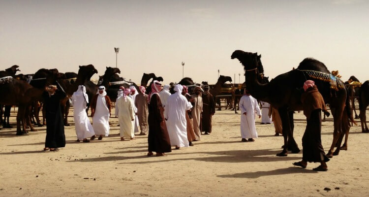 Camel beauty contest judging at Al Dhafra Festival