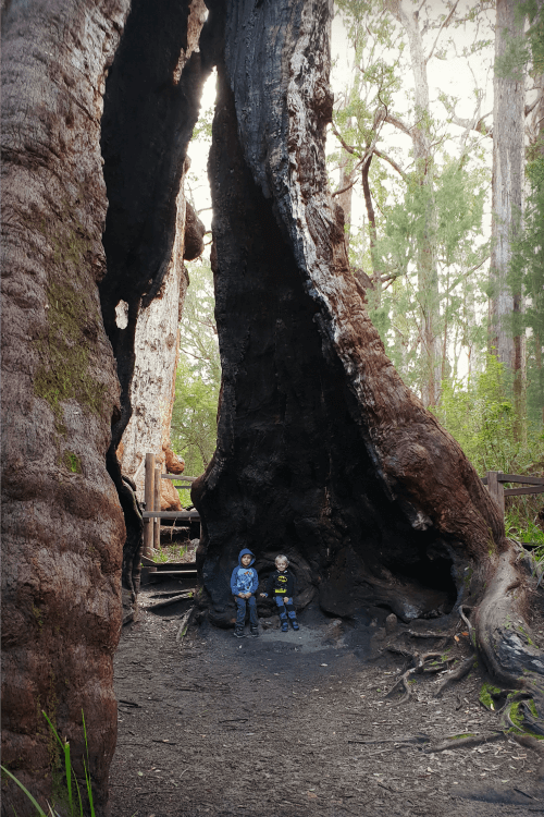 Giant Tingle Tree with children inside outside Walpole Western Australia