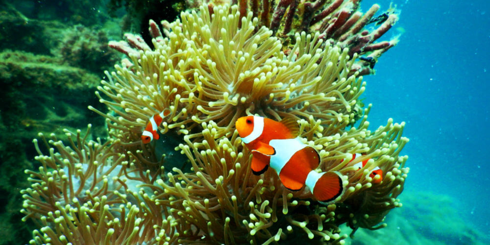 Great Barrier Reef Clown Fish Port Douglas