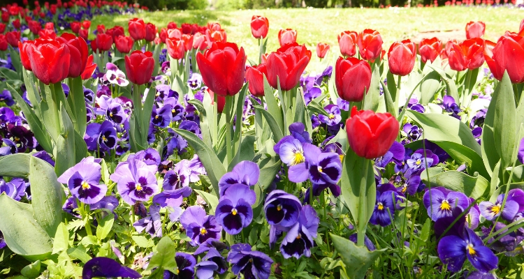 Beautiful Tulips in Parcul Cismgiu