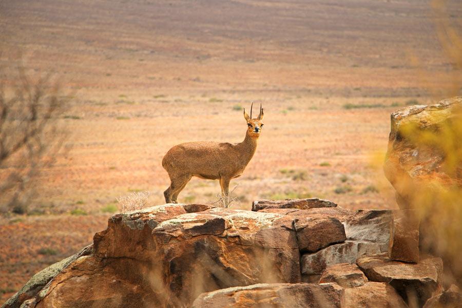 Antilope Tankwa Karoo National Park