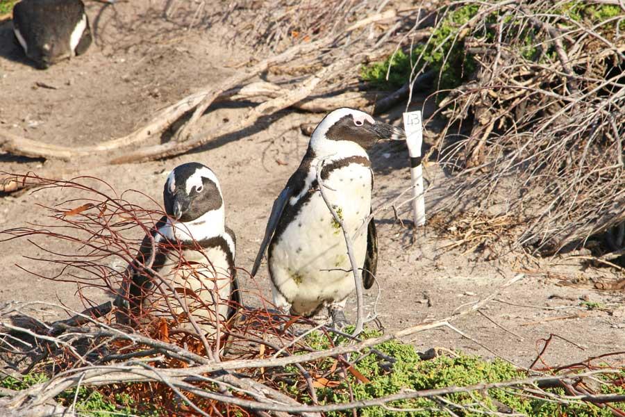Penguins Stony Point Bettys Bay