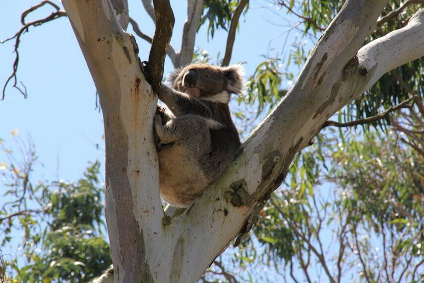 Koala at Kennett River on the Great Ocean Road