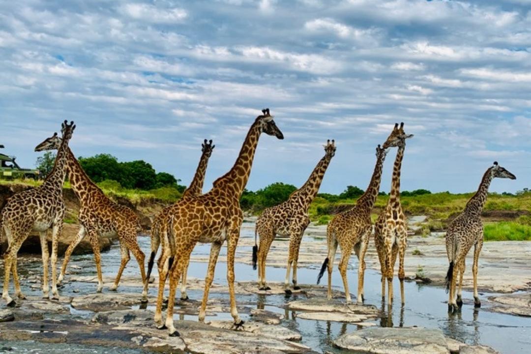 Giraffes in Maasi Mara